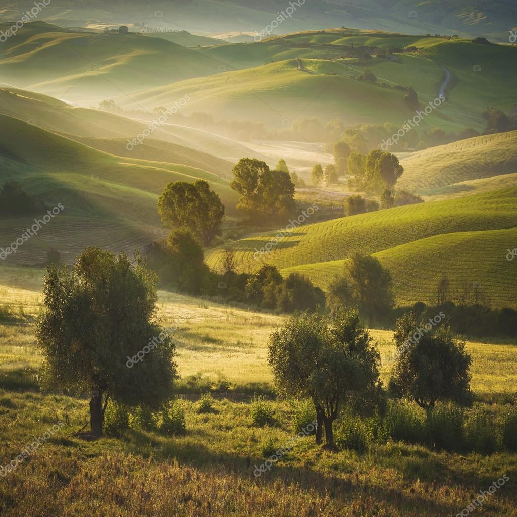 Tuscan olive trees and fields in the area of Siena, Italy