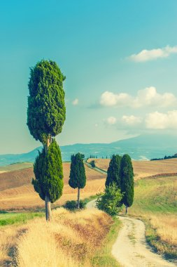 Tuscan cypress trees along the road between the yellow fields, Italy stock vector