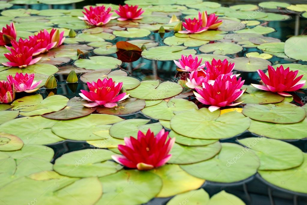 Red lotus flowers stock photo joshchinander 28586551 red lotus flowers stock photo mightylinksfo