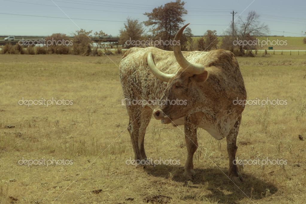 テキサス ロング ホーン
