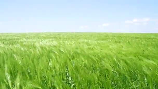 Zöld búza mező hullámok mozgatta nyári szél természet pán lövés