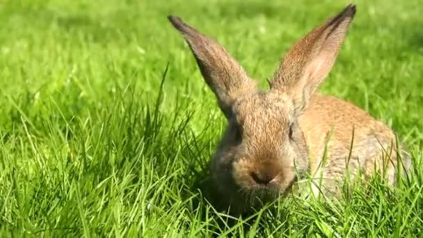 králík na zelené trávě