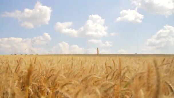 Wheat Field Caressed Wind Crane Shot Nature Health Concept HD