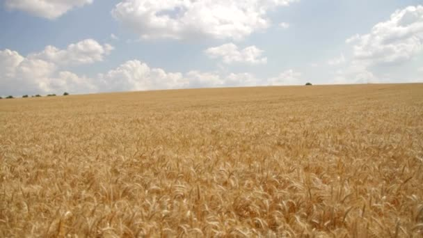 Thanksgiving Wheat Harvest Close Autumn Summer Fertility Concept