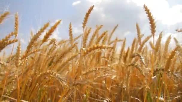 letní přírodní pšeničné pole Zlaté obilí biochléb potravin