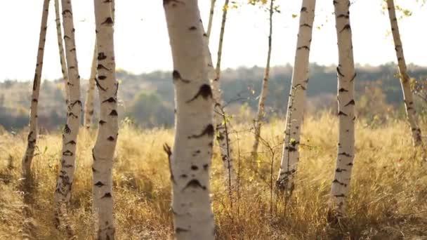 krásný březový les
