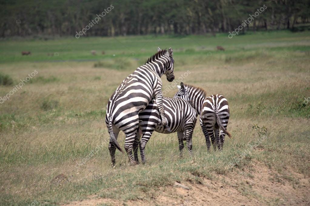 Zebra Mating Stock Photo Debstheleo 28773591