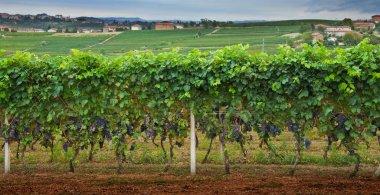Rows of grapes.