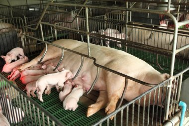 Newborn pigs feeding in modern kennel