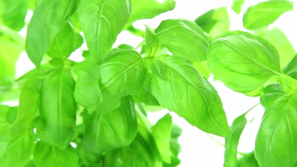 čerstvá bazalka zelená rostlina listy na bílém pozadí