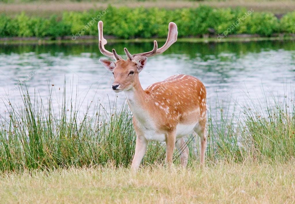 Handsome young fallow deer buck