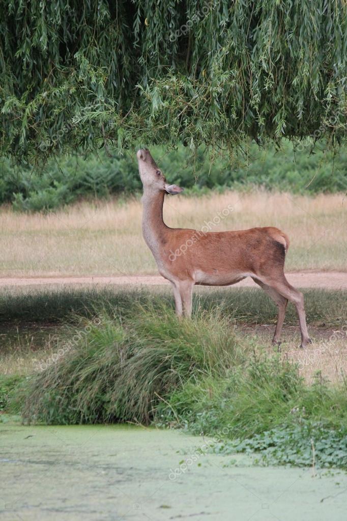 Female fallow deer reaching to graze in tree
