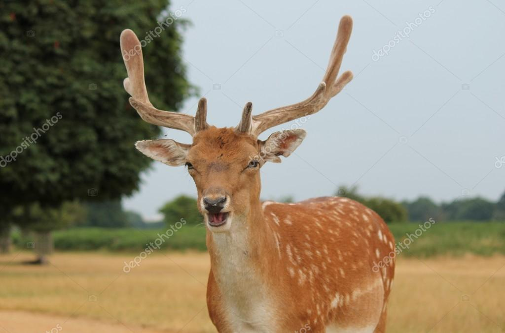 Single fallow buck deer calling in a bleating to other deer