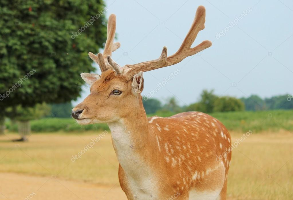 Handsome fallow deer stag in clearing