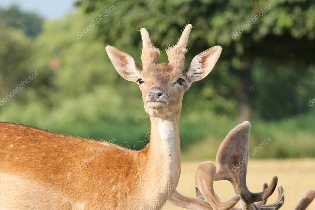 Young fallow deer looking to camera