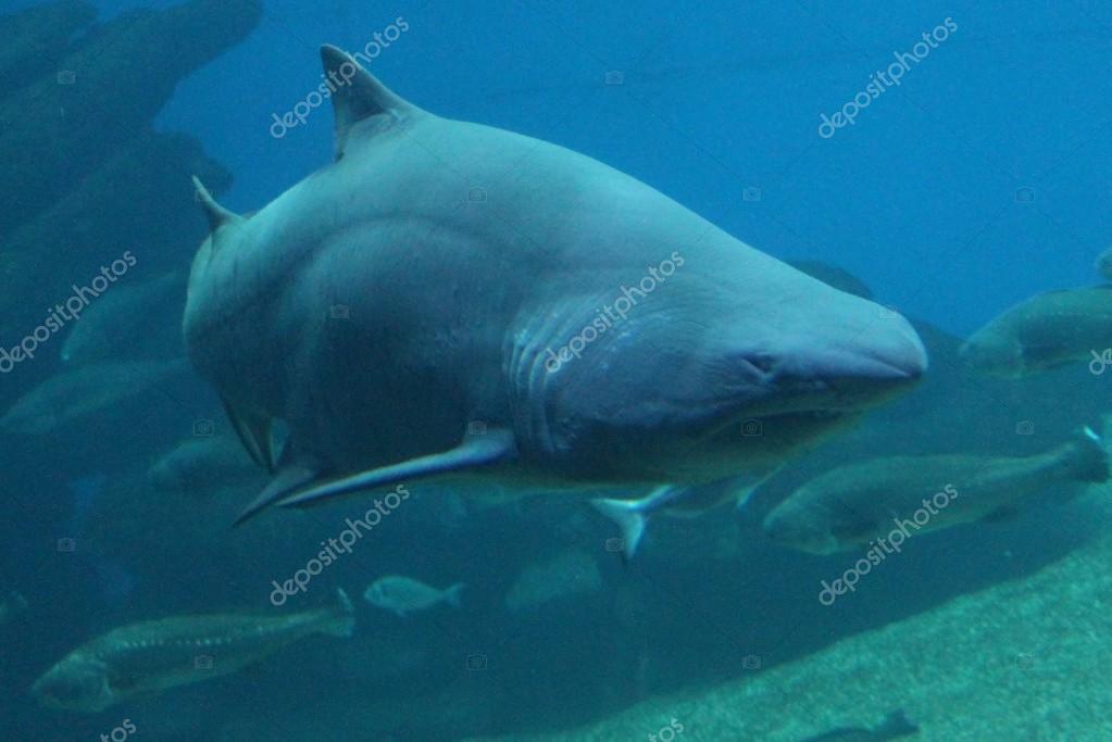 shark - Sand tiger shark swimming underwater
