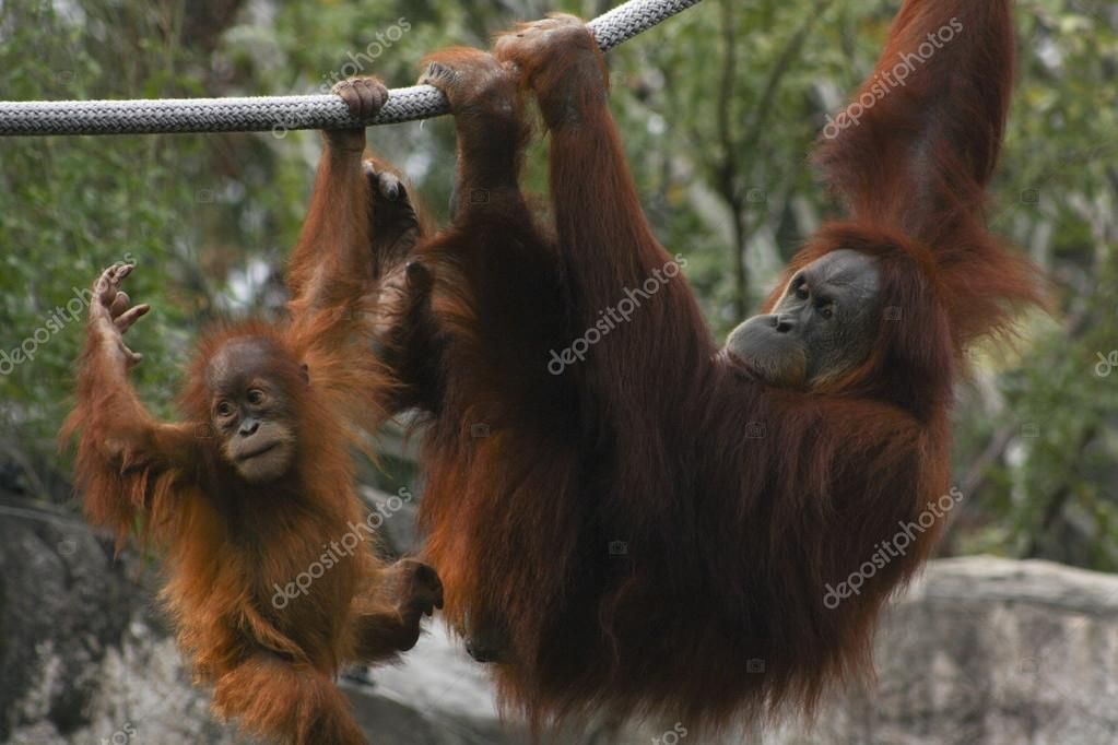 Orangutan Mother and Child Play