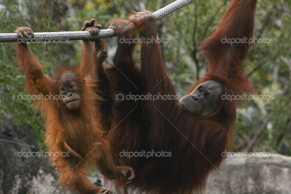 Orangutans Playing