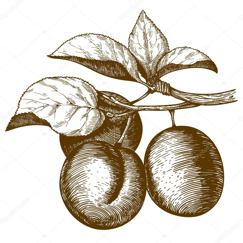 Engraving plum on the branch on white background