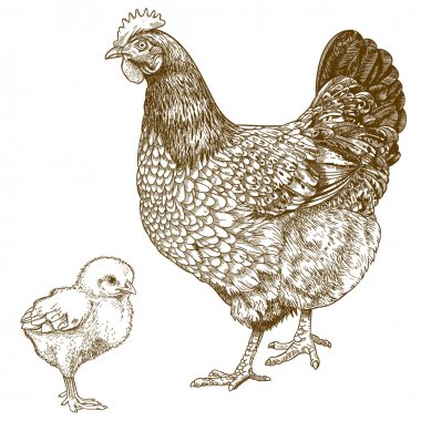 Illustration of engraving chicken and chick