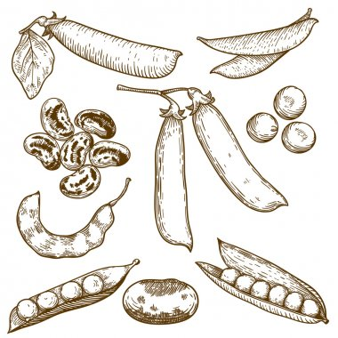 Engraving illustration of beans and peas
