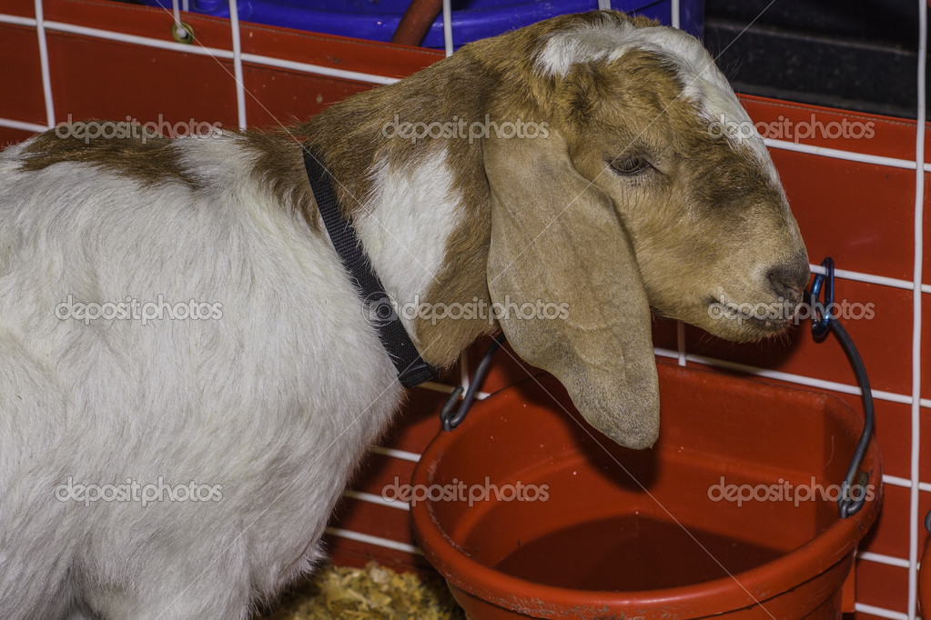 goat drinking water stock photo schubphoto 48400257