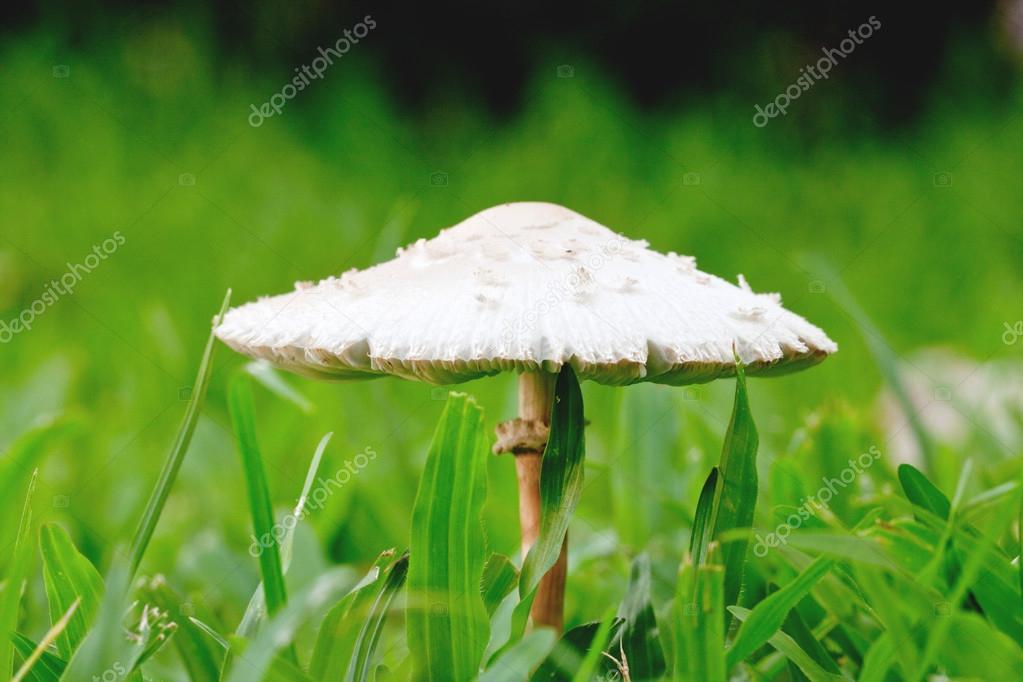 Weiße Tasse Pilz Auf Garten Stockfoto Myrainjom01 32412207