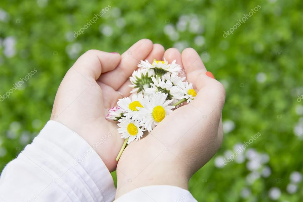 chamomile flowers in children's hands