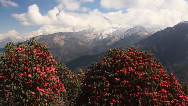 kvetoucí rododendrony v Himalájích.