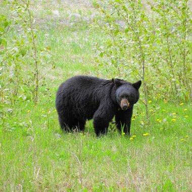 Black bear by Medicine lake.