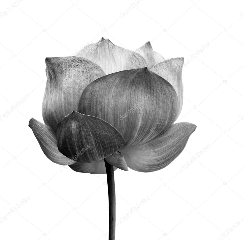 Lotus flower in black and white isolated on white background lotus flower in black and white isolated on white background stock photo izmirmasajfo