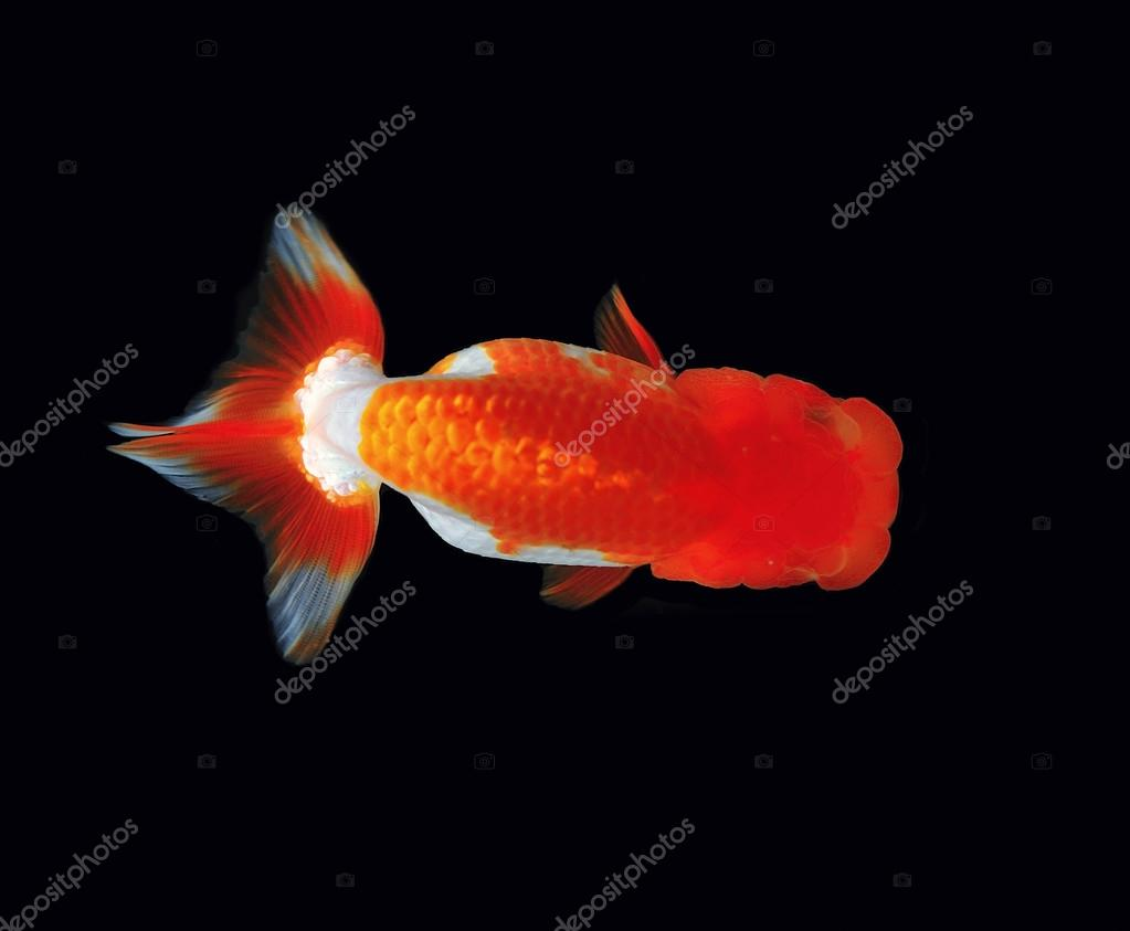 Top view Lion head goldfish on black background — Stock