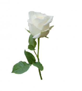 A single white Rose isolated on white background