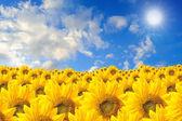Pole slunečnic a modrá obloha