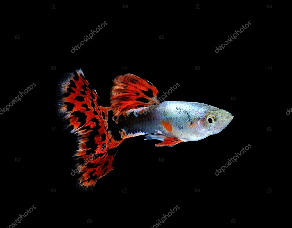guppy fish swimming isolated on black — Stock Photo © sommaill #43463415
