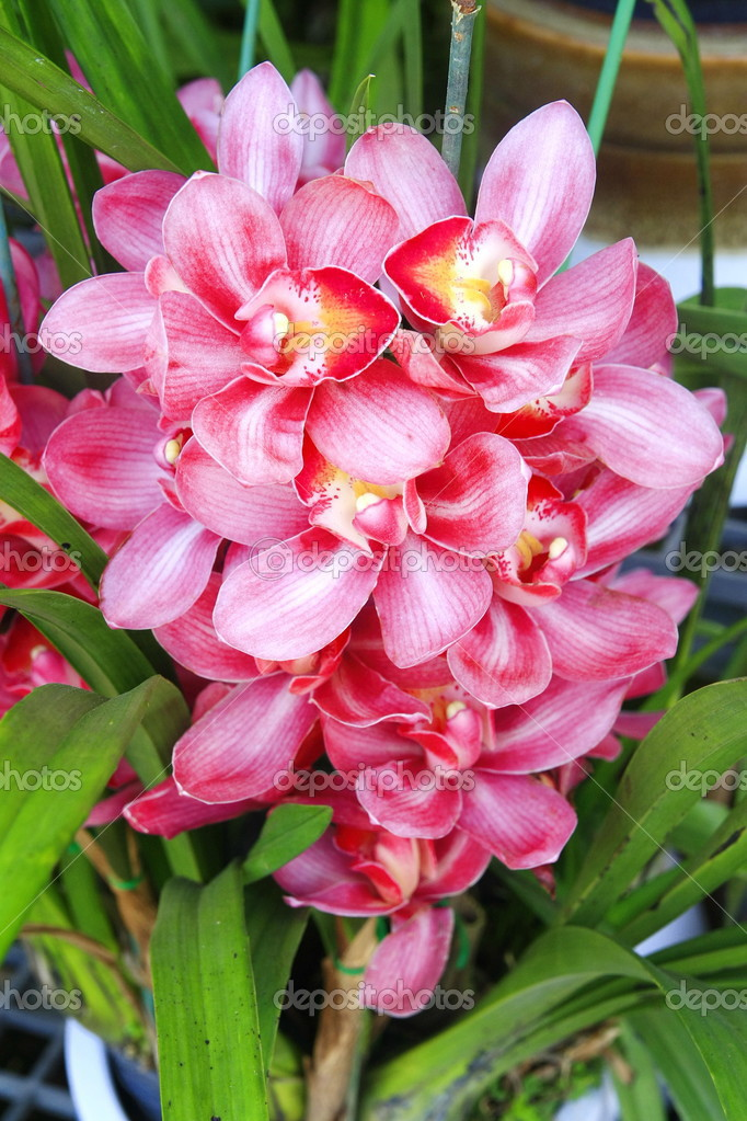 orchid e cymbidium rose photographie aodaodaodaod 32443517. Black Bedroom Furniture Sets. Home Design Ideas