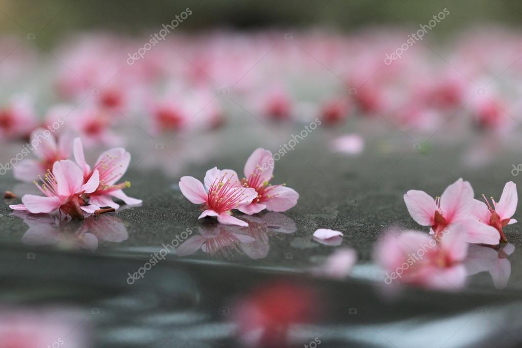 Pink sakura falled on ground