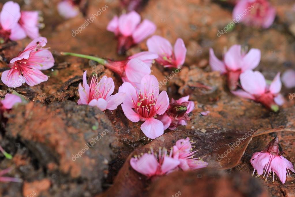 pink sakura fall on ground