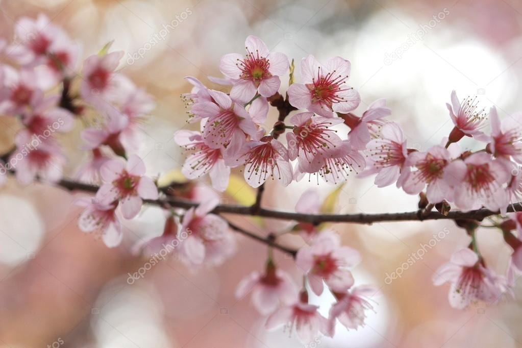 pink sakura tree in Thailand