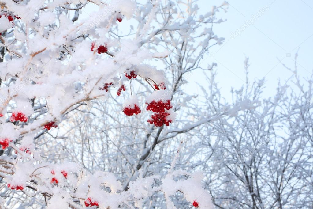 Branches of trees and red viburnum berries in frost in winter at