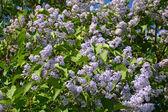 Krásné větve velkých kvetoucí šeříky Bushe na slunečné jaro