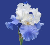 Blue And White Iris Isolated On Blue