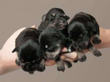 Four little puppies in arms