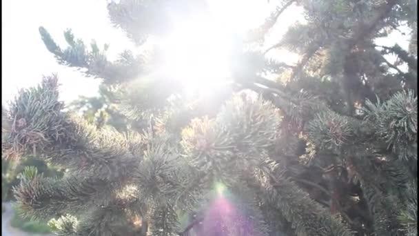 šerosvitu vánoční strom