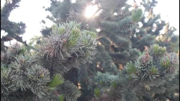 šerosvitu vánoční stromeček č.02