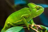 zelený chameleon