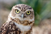 Photo Burrowing Owl portrait
