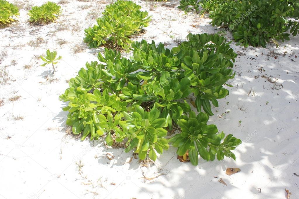 de plage qui poussent dans le sable blanc plage shoal bay à
