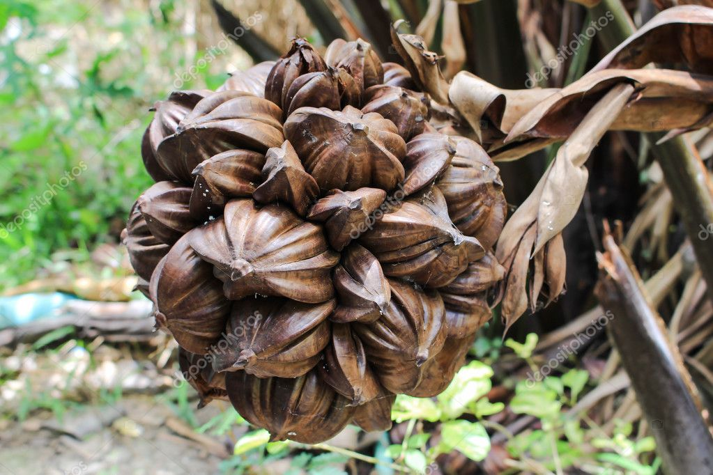 nypa palm fruit in Thailand, close up of nypa seed in nature.