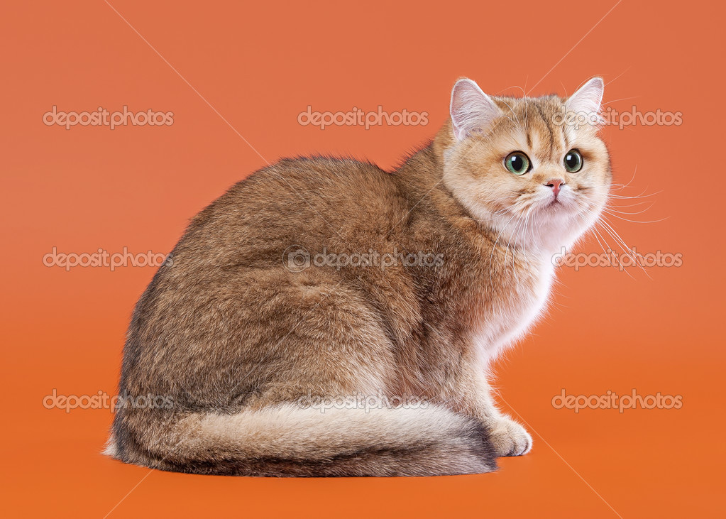Young golden british cat on nuts brown background stock photo young golden british cat on nuts brown background stock photo publicscrutiny Image collections
